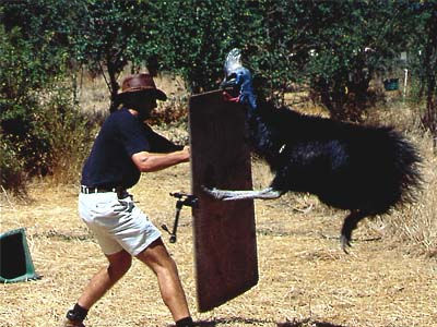 Cassowary Attacking Ausie