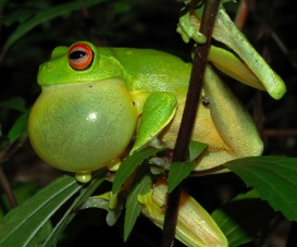 Litoria Chloris